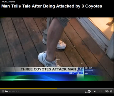Coyotes Attack